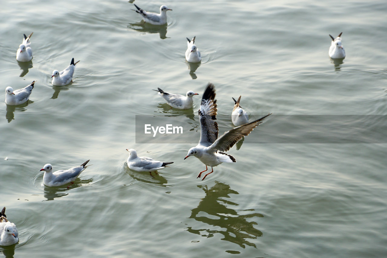 animals in the wild, animal wildlife, group of animals, animal themes, bird, animal, vertebrate, water, large group of animals, day, waterfront, seagull, lake, flying, no people, nature, beauty in nature, flock of birds, swimming
