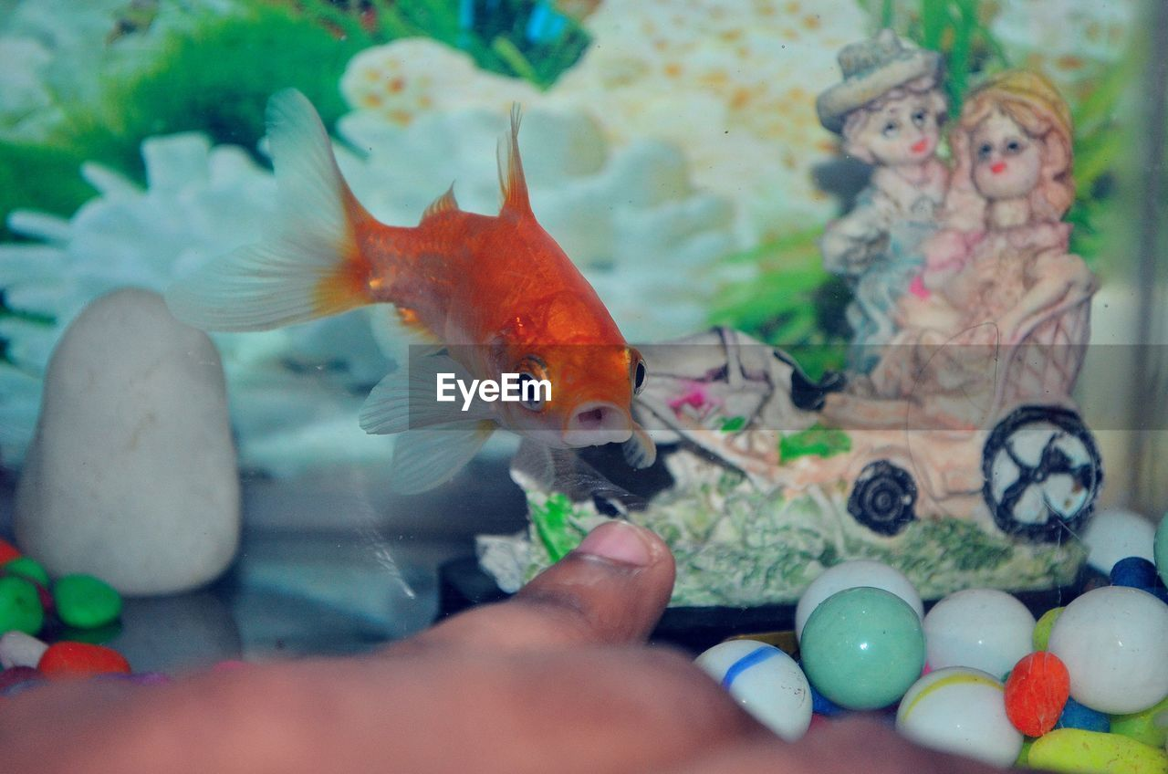 Portrait Of Goldfish