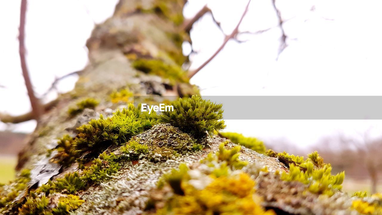 plant, growth, selective focus, moss, close-up, no people, tree trunk, tree, nature, trunk, day, beauty in nature, lichen, sky, tranquility, outdoors, focus on foreground, covering, green color, textured, bark