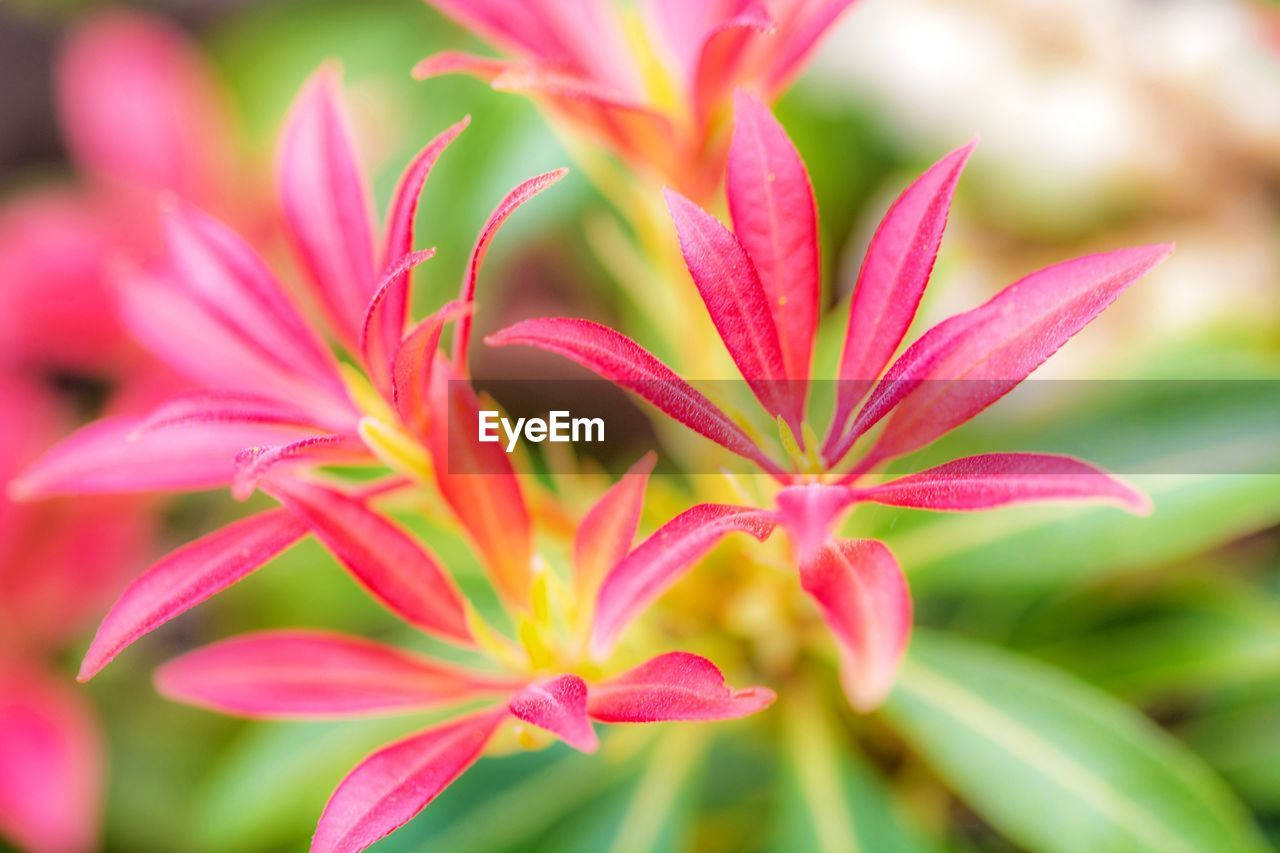 beauty in nature, plant, close-up, growth, vulnerability, flower, flowering plant, freshness, fragility, petal, no people, selective focus, inflorescence, focus on foreground, flower head, day, pink color, nature, outdoors, red