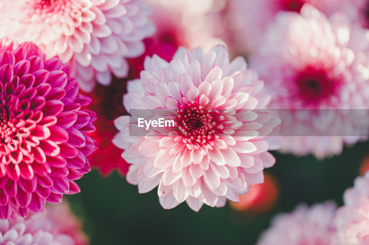 CLOSE-UP OF PINK DAHLIA ON PLANT