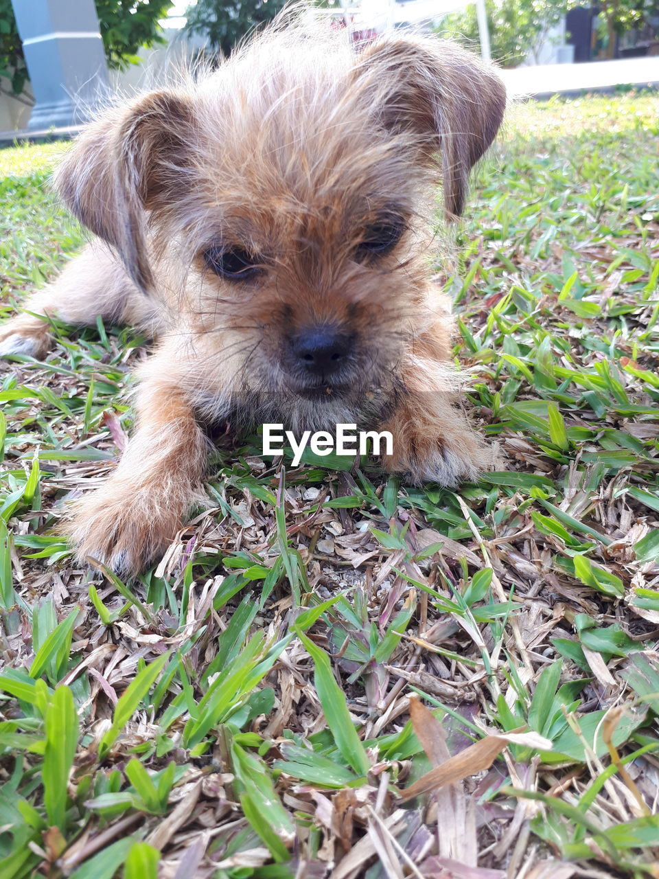 dog, pets, one animal, domestic animals, animal themes, mammal, day, puppy, grass, looking at camera, portrait, no people, close-up, outdoors, nature