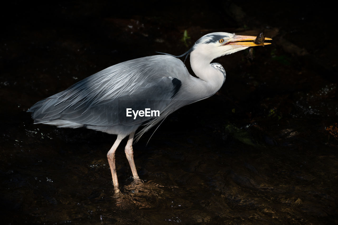 animal themes, one animal, animal, animal wildlife, vertebrate, bird, animals in the wild, no people, white color, beak, nature, land, heron, focus on foreground, water, looking, side view, outdoors, close-up, rock