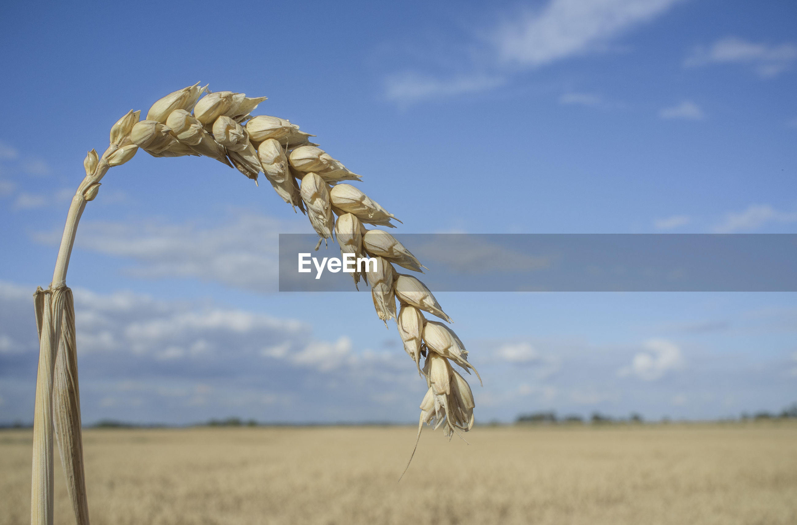 CLOSE-UP OF WHEAT CROP ON FIELD