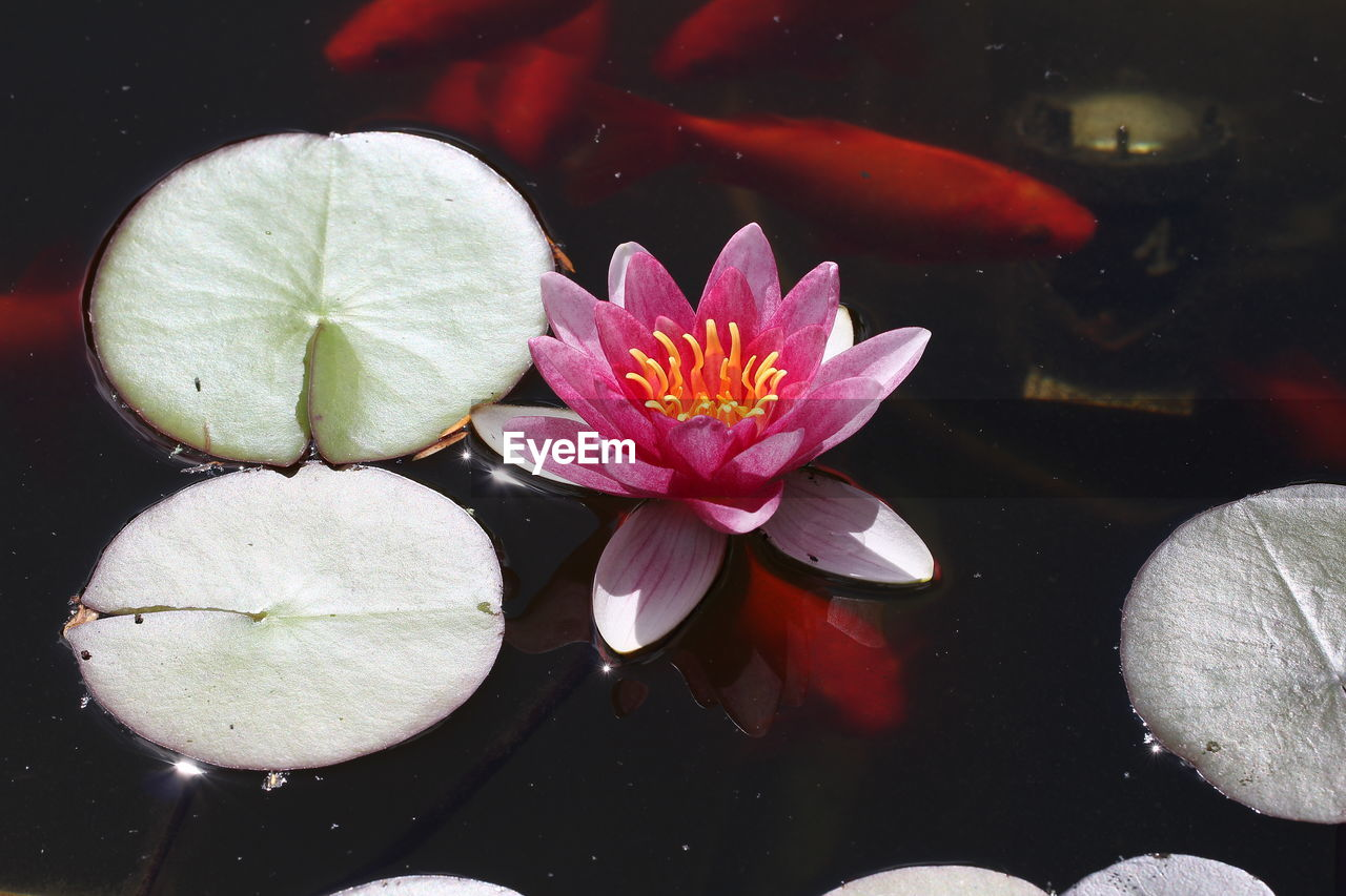 flower, flowering plant, beauty in nature, vulnerability, fragility, petal, freshness, plant, water, flower head, inflorescence, leaf, water lily, plant part, close-up, pond, pink color, nature, floating on water, no people, pollen, lotus water lily, leaves