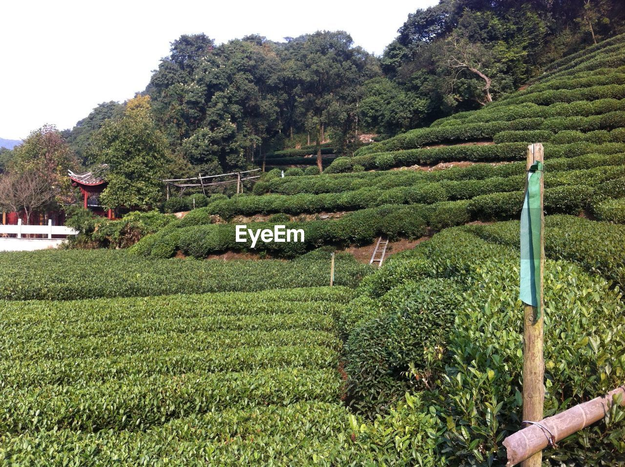 growth, green color, agriculture, tree, nature, day, beauty in nature, outdoors, field, plant, mountain, no people, scenics, tea crop, sky