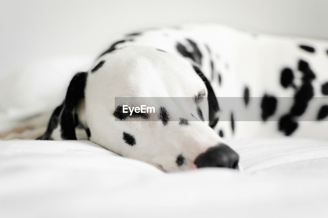 Dalmatian Sleeping On Bed At Home