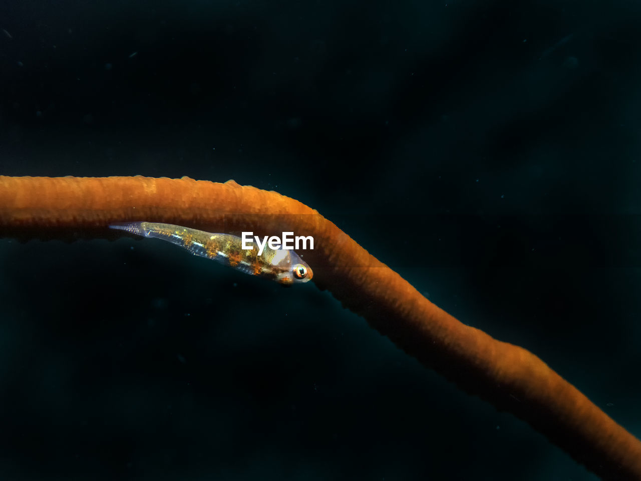 A lone whip coral goby in malapascua island, philippines