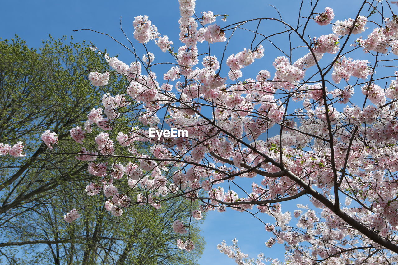 flowering plant, flower, plant, tree, growth, blossom, springtime, fragility, low angle view, beauty in nature, vulnerability, branch, freshness, nature, sky, day, cherry blossom, no people, pink color, cherry tree, outdoors, spring