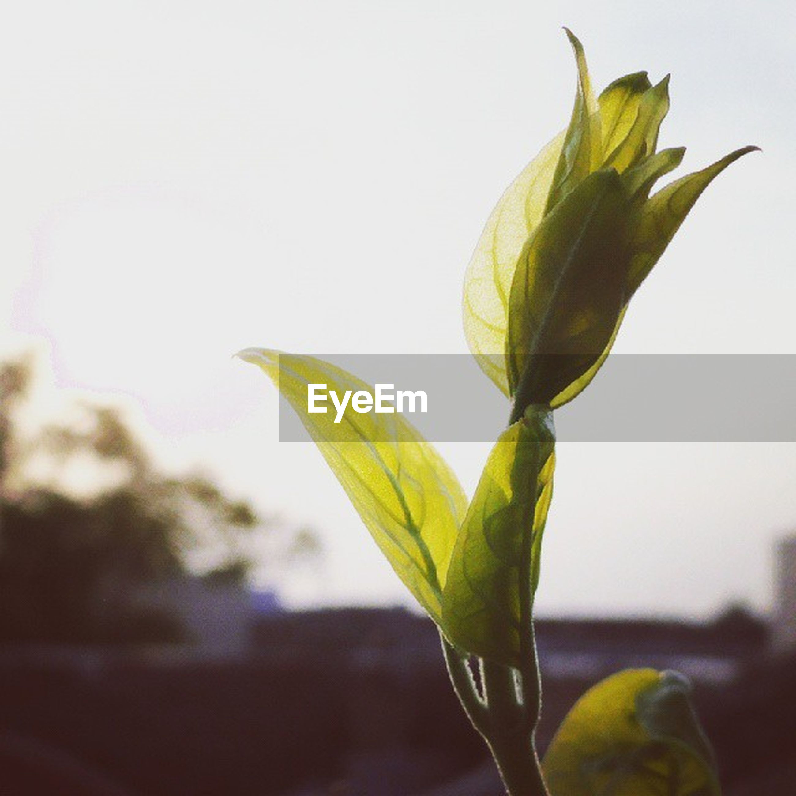flower, freshness, fragility, growth, petal, stem, leaf, close-up, flower head, plant, bud, beauty in nature, nature, focus on foreground, yellow, new life, botany, tulip, studio shot, single flower