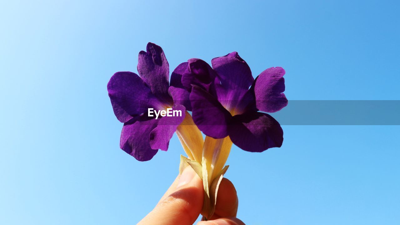 CLOSE-UP OF HAND HOLDING PURPLE ROSE FLOWER AGAINST BLUE SKY