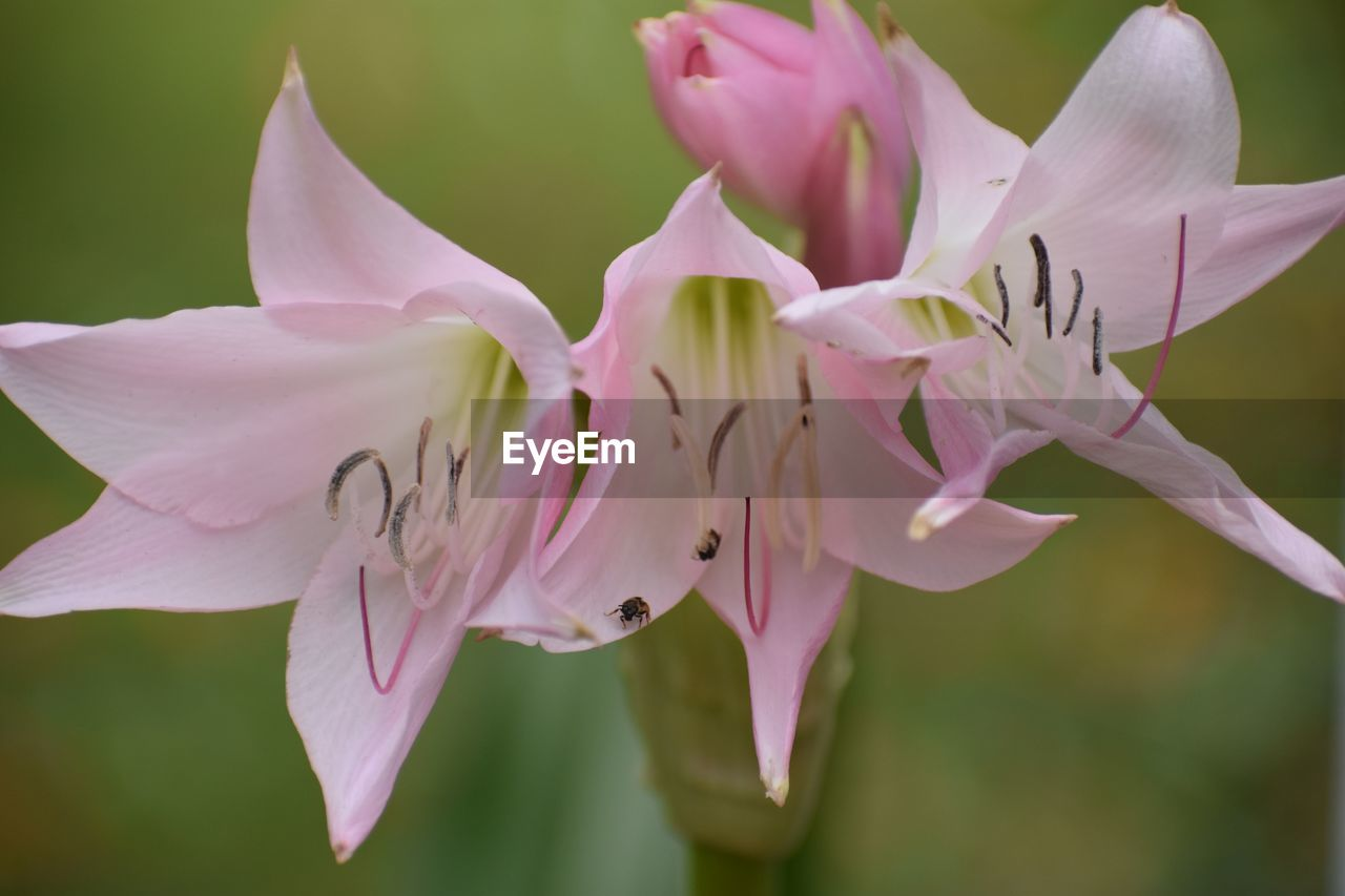 flowering plant, flower, petal, vulnerability, fragility, freshness, plant, beauty in nature, flower head, growth, inflorescence, close-up, pink color, pollen, focus on foreground, nature, no people, day, stamen, selective focus, springtime, outdoors, purple