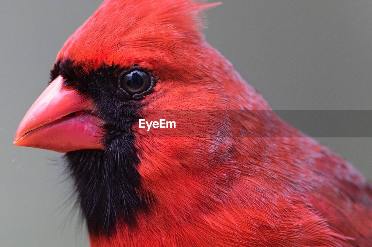 red, bird, animal themes, vertebrate, animal, one animal, close-up, animals in the wild, animal body part, beak, animal wildlife, no people, animal head, focus on foreground, day, zoology, looking away, nature, outdoors, looking, profile view, animal eye
