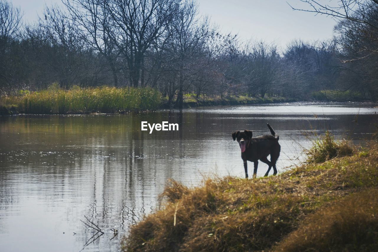 animal themes, dog, domestic animals, pets, lake, mammal, one animal, nature, tree, water, bare tree, outdoors, no people, day, beauty in nature, scenics, sky, grass