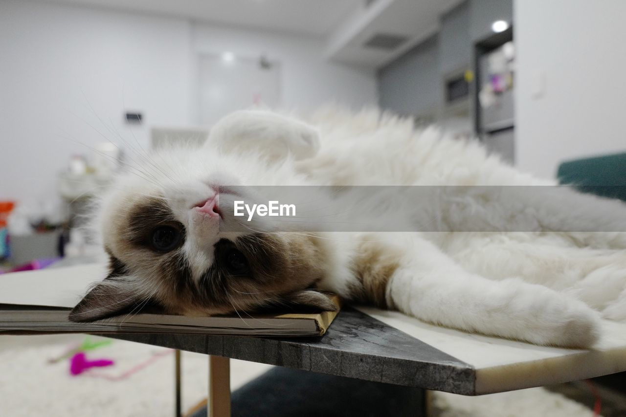 cat, domestic cat, mammal, domestic, pets, animal, feline, animal themes, domestic animals, one animal, relaxation, vertebrate, lying down, table, resting, indoors, whisker, no people, sleeping, white color