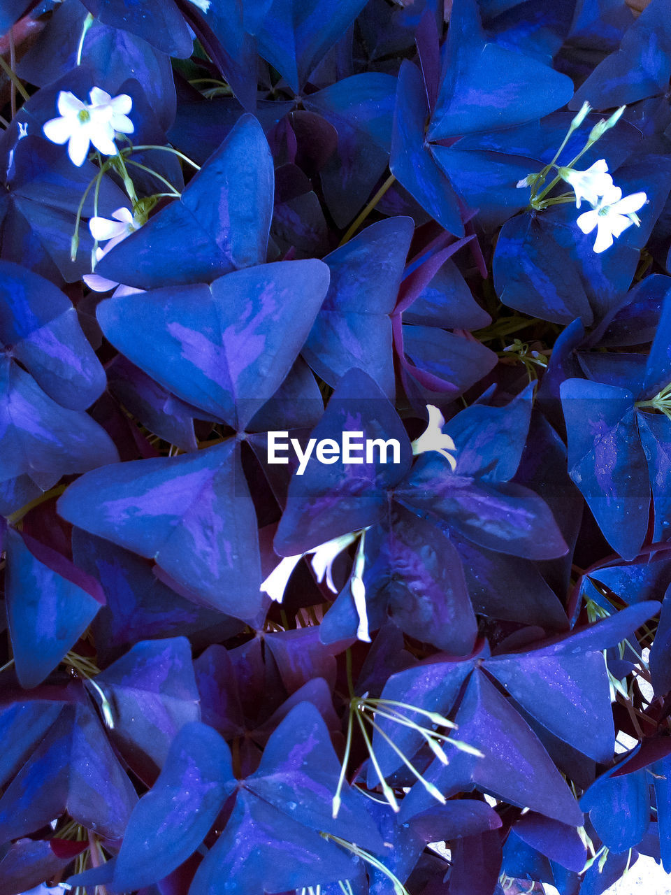 flower, beauty in nature, nature, petal, fragility, growth, plant, no people, outdoors, purple, day, full frame, close-up, leaf, blue, freshness, bougainvillea, flower head