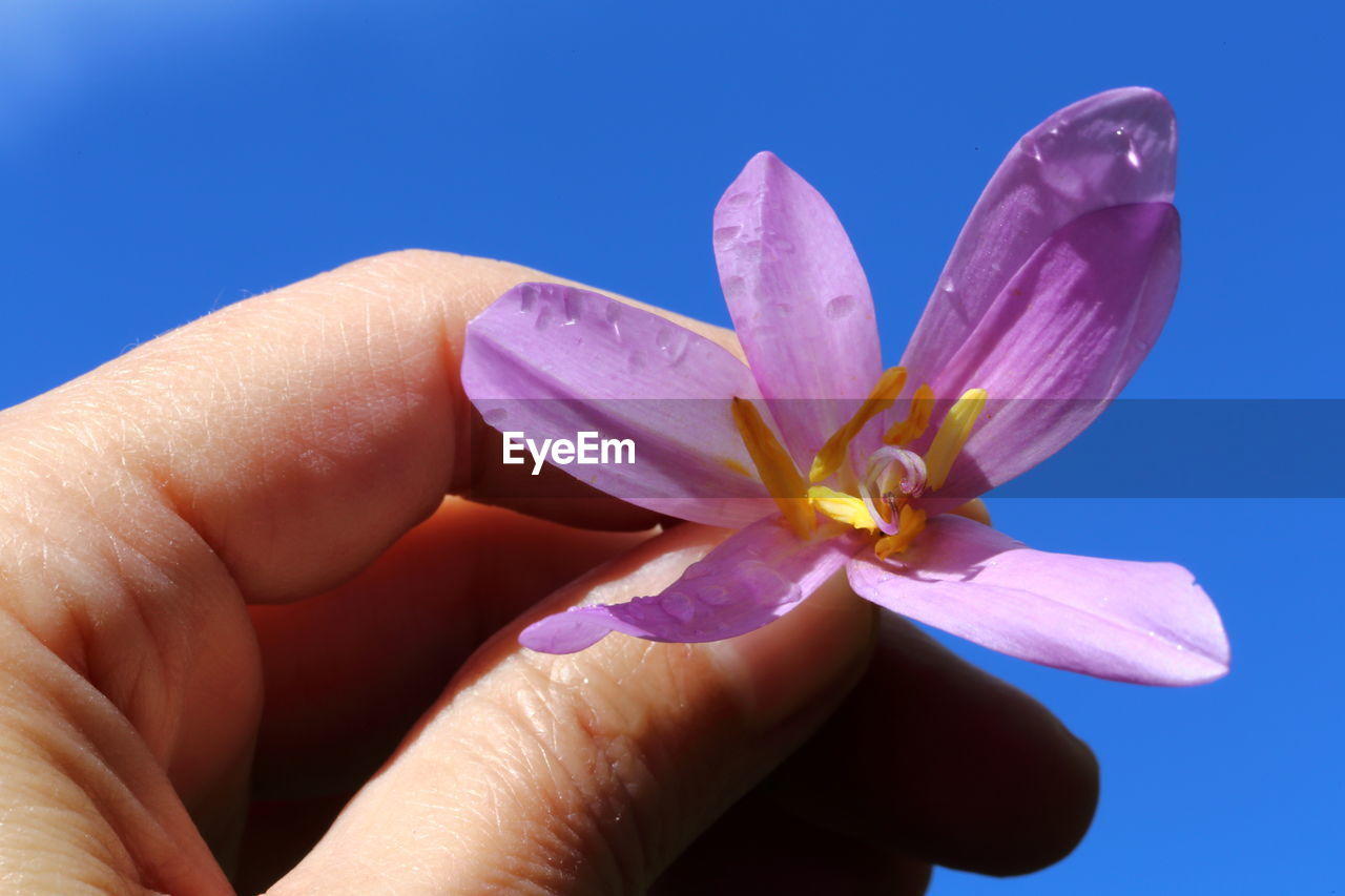 flower, flowering plant, human body part, human hand, petal, freshness, plant, close-up, beauty in nature, hand, nature, body part, finger, real people, one person, inflorescence, holding, unrecognizable person, human finger, flower head, outdoors, pollen, purple, nail, blue background