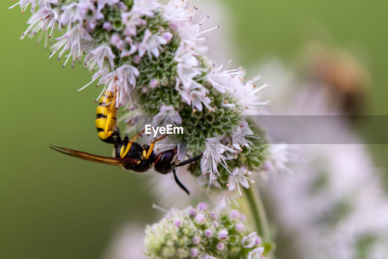flowering plant, flower, invertebrate, insect, animals in the wild, animal themes, one animal, fragility, animal wildlife, vulnerability, plant, animal, beauty in nature, freshness, flower head, petal, close-up, growth, bee, symbiotic relationship, pollination, no people, outdoors, pollen, purple
