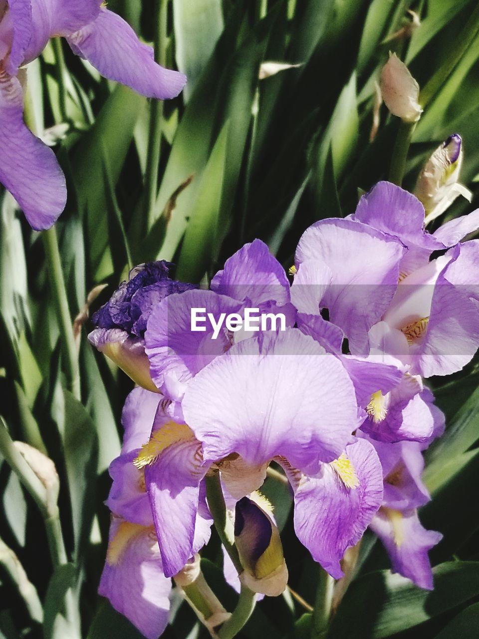 CLOSE-UP OF FRESH PURPLE IRIS FLOWERS