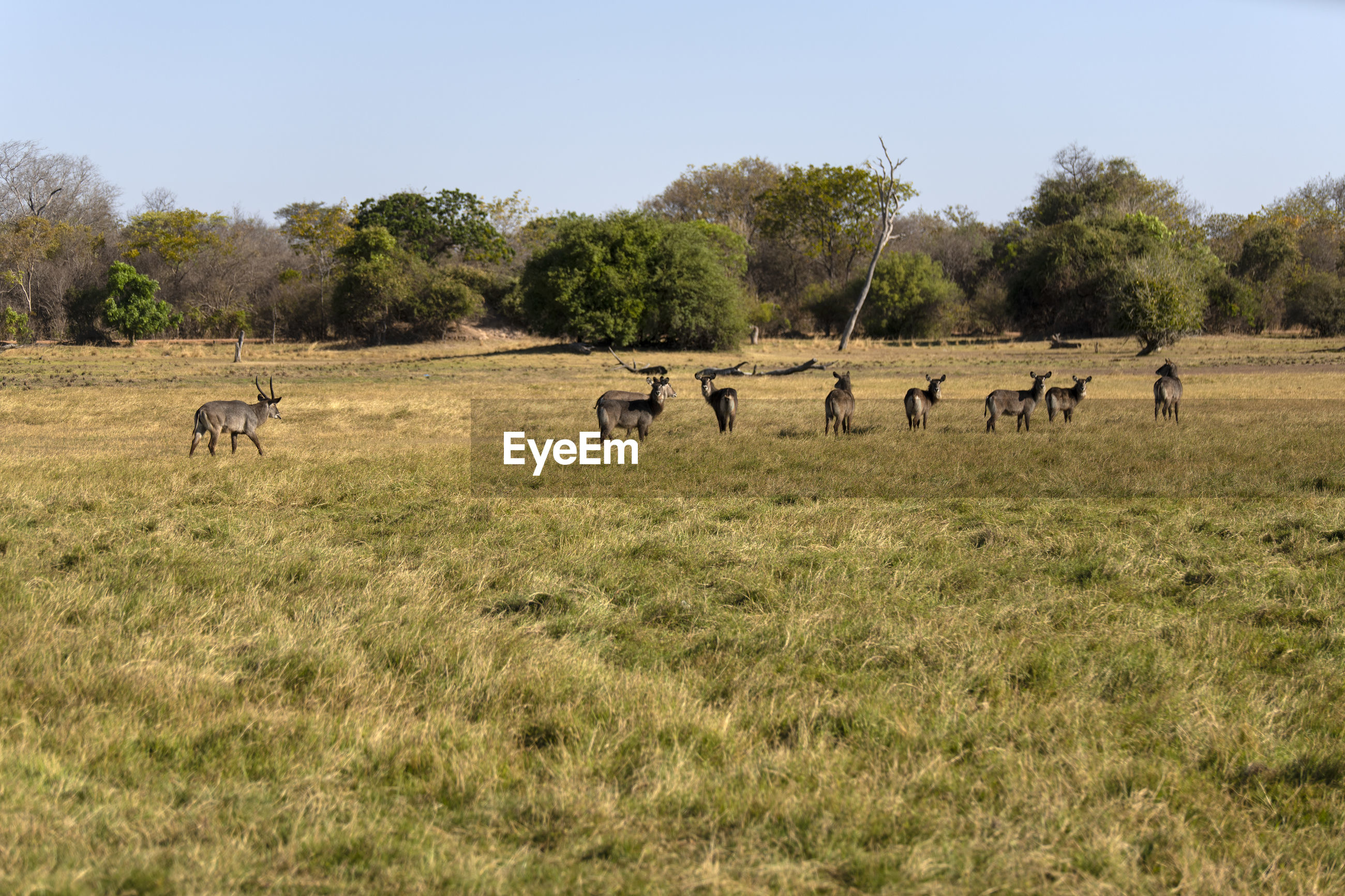 Waterbucks in a field