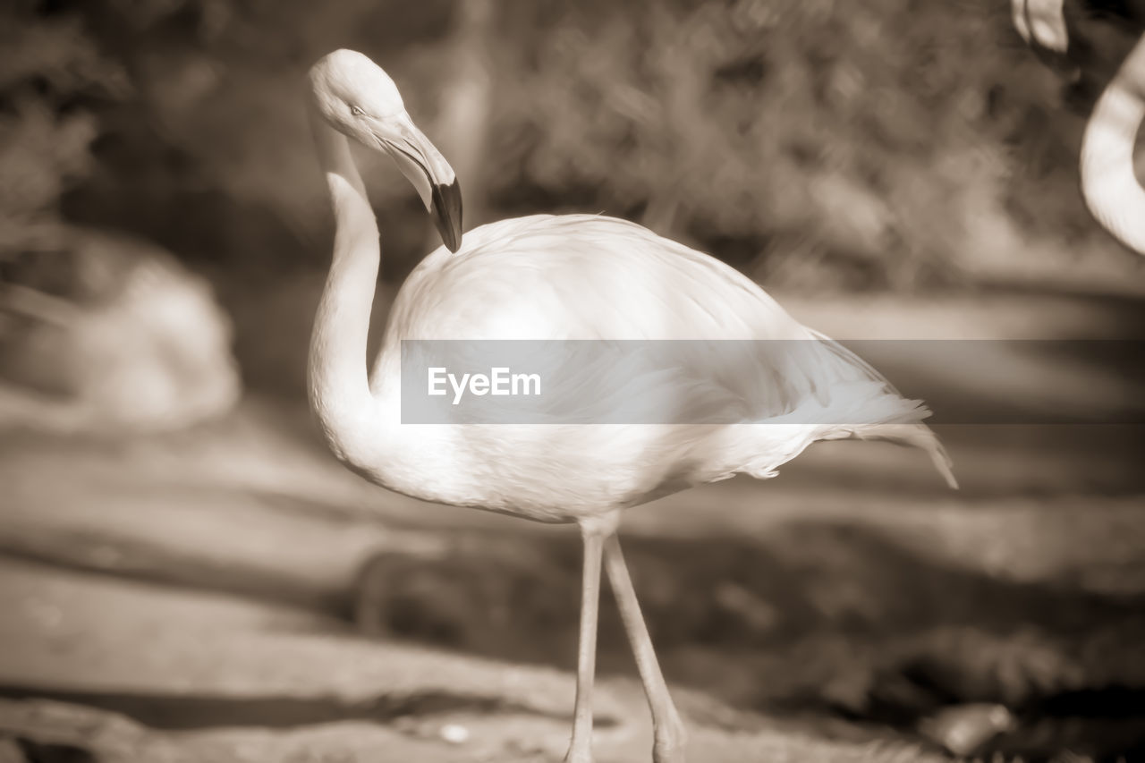 bird, animal, animal themes, animal wildlife, animals in the wild, vertebrate, one animal, no people, focus on foreground, day, nature, white color, close-up, flamingo, water, animal neck, outdoors, beak, animal body part, beauty in nature, freshwater bird