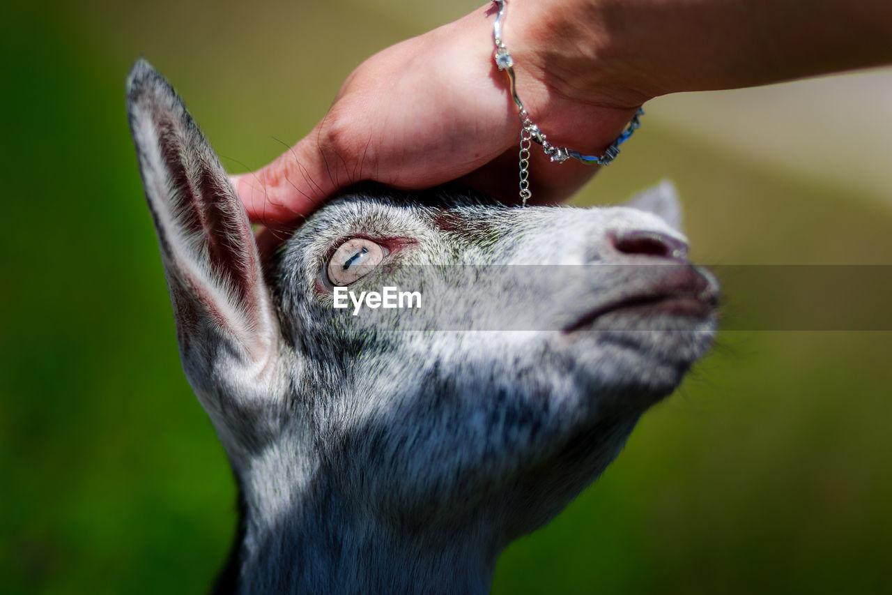 Human Hand Touching Goat