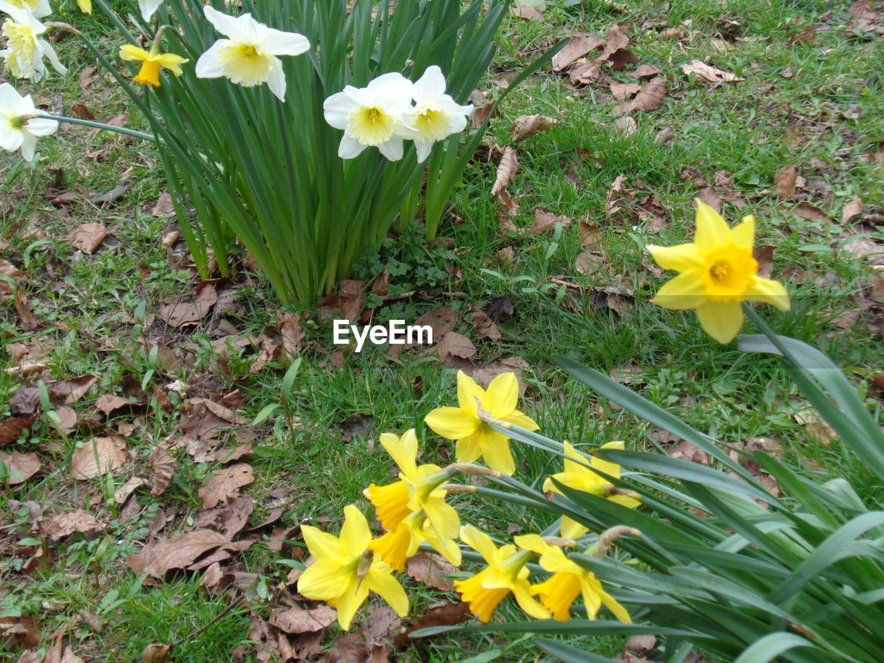 flower, fragility, petal, growth, yellow, freshness, flower head, nature, beauty in nature, blooming, daffodil, plant, outdoors, wildflower, field, high angle view, springtime, day, no people, green color, leaf, uncultivated, grass, close-up, crocus, black-eyed susan