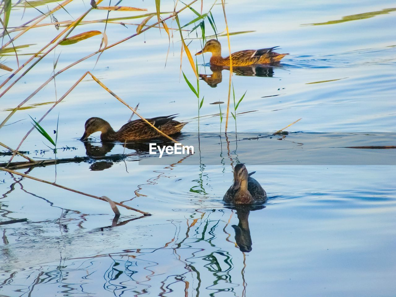 animals in the wild, animal wildlife, animal themes, water, young bird, lake, duck, bird, nature, reflection, no people, day, swimming, duckling, young animal, outdoors