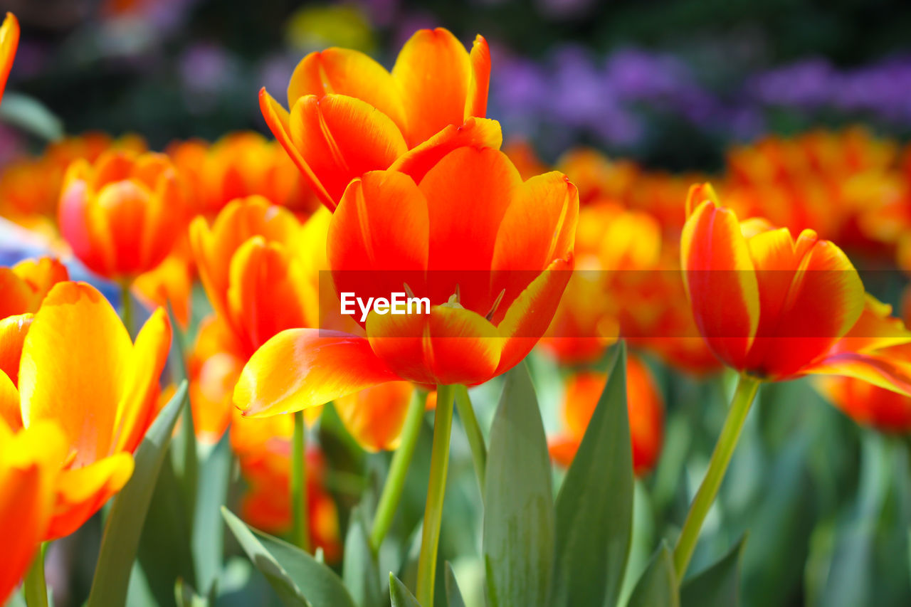 flower, growth, beauty in nature, nature, petal, plant, freshness, blooming, orange color, fragility, flower head, no people, outdoors, close-up, day