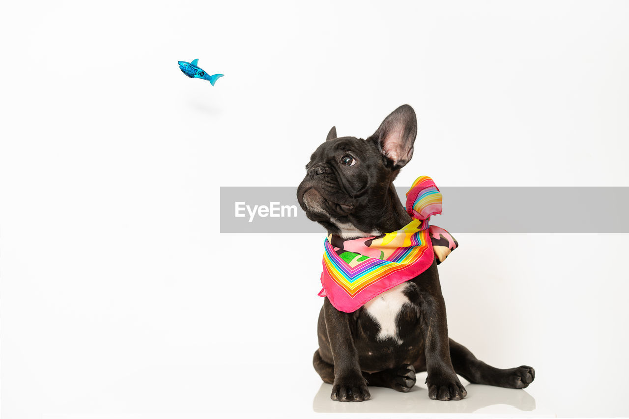 pets, domestic, domestic animals, mammal, animal themes, dog, animal, canine, studio shot, one animal, white background, indoors, copy space, vertebrate, black color, small, no people, french bulldog, clothing, sitting, innocence