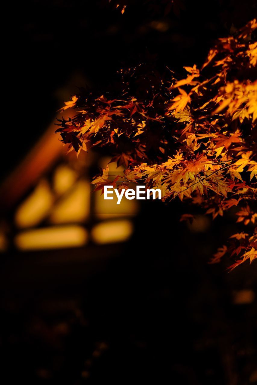 Low angle view of maple tree at night