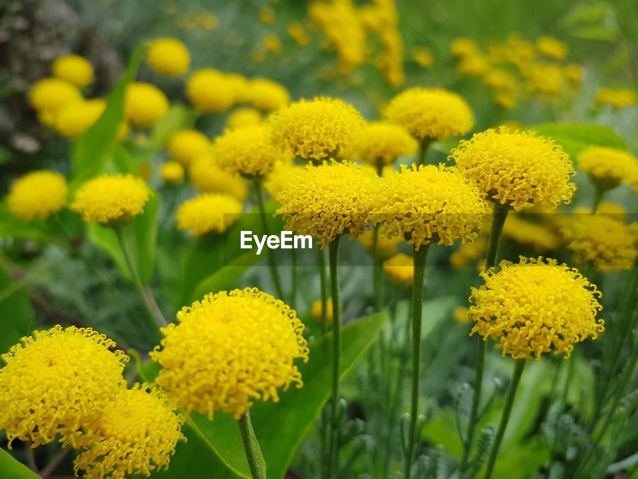 yellow, flower, flowering plant, beauty in nature, plant, growth, vulnerability, fragility, freshness, flower head, close-up, petal, inflorescence, green color, nature, day, field, no people, focus on foreground, botany, outdoors, springtime