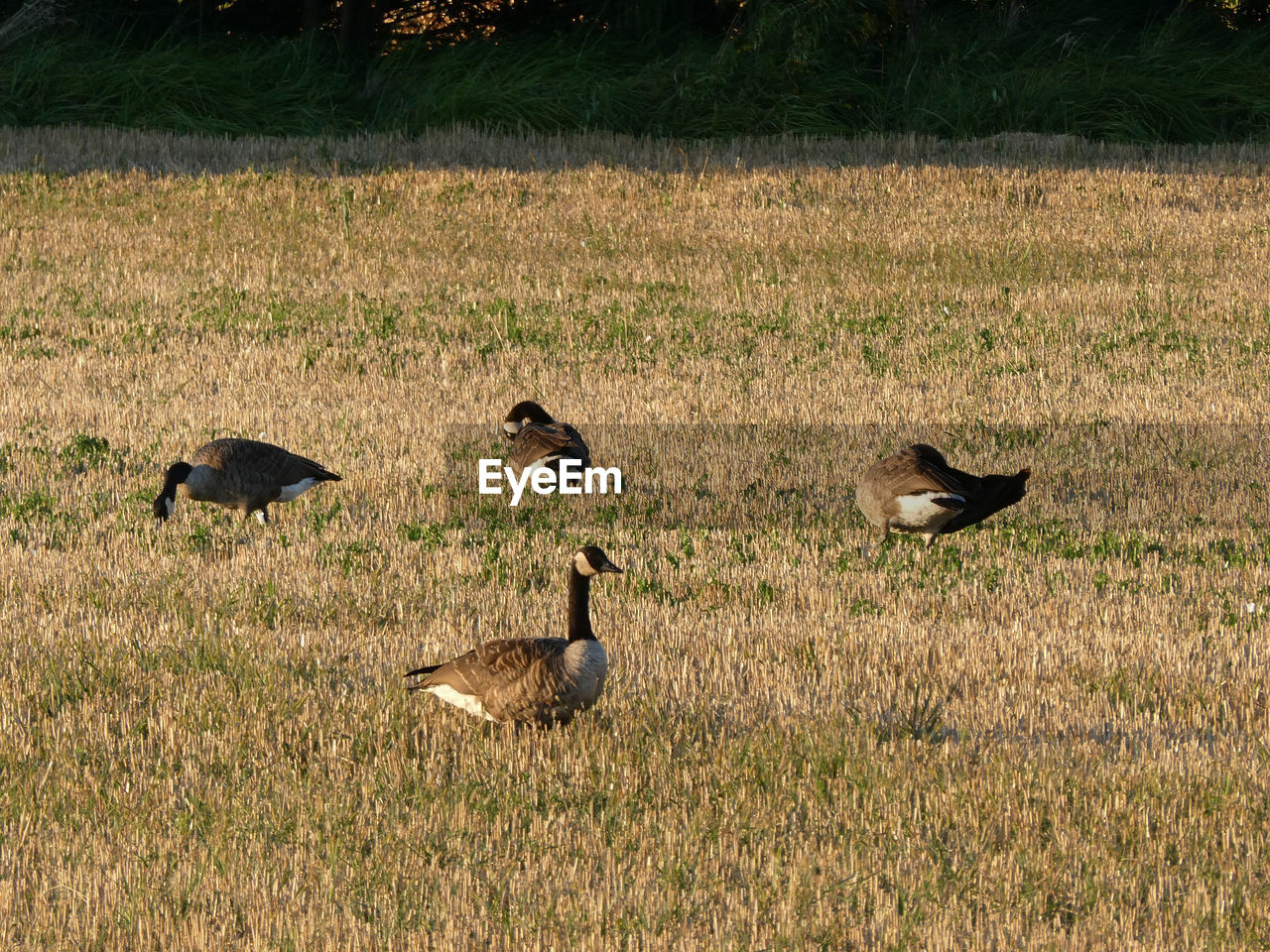 animals in the wild, animal wildlife, animal themes, animal, vertebrate, group of animals, grass, bird, no people, plant, goose, land, nature, day, environment, field, walking, beauty in nature, outdoors, medium group of animals, animal family, flock of birds, gosling, herbivorous