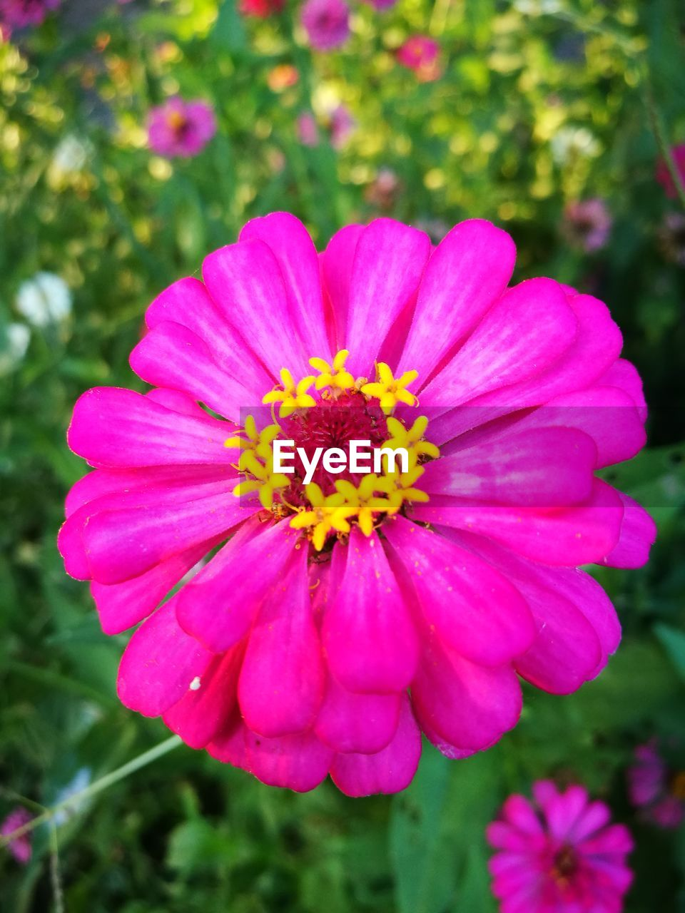 flower, petal, nature, beauty in nature, blooming, fragility, flower head, growth, plant, pink color, freshness, yellow, no people, outdoors, close-up, zinnia, day