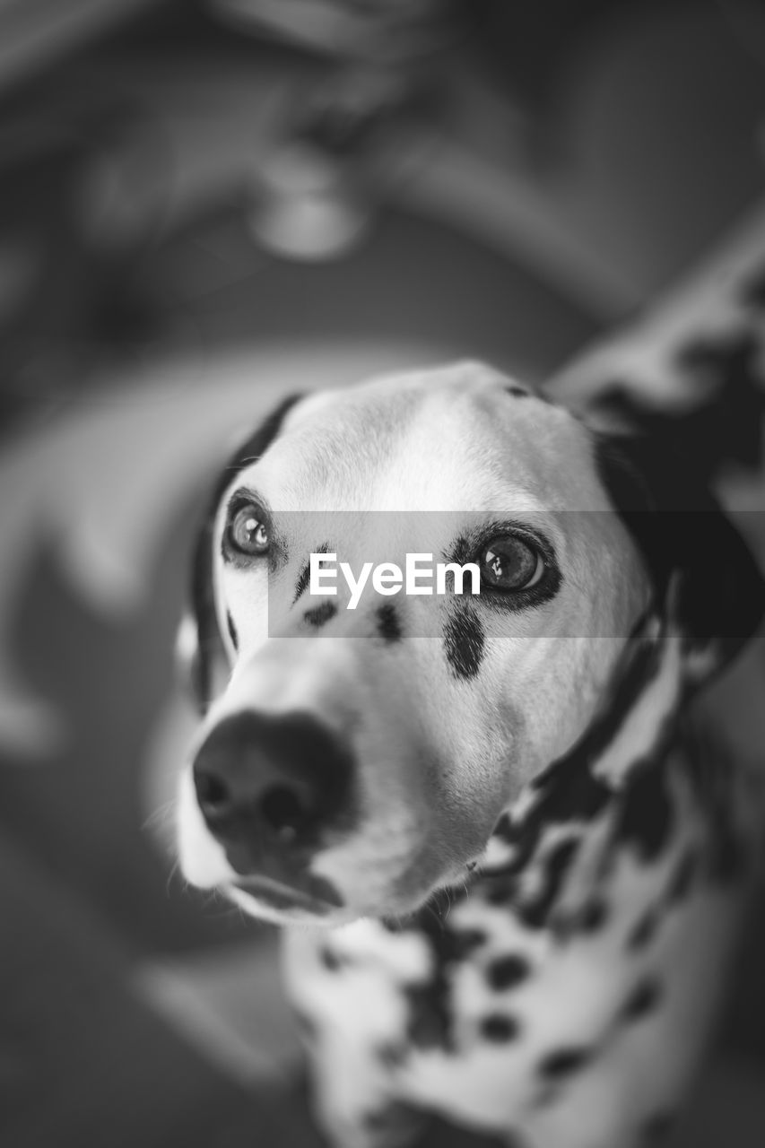 canine, dog, domestic animals, one animal, domestic, pets, mammal, animal themes, animal, vertebrate, looking at camera, portrait, animal body part, no people, close-up, animal head, looking, indoors, selective focus, animal eye