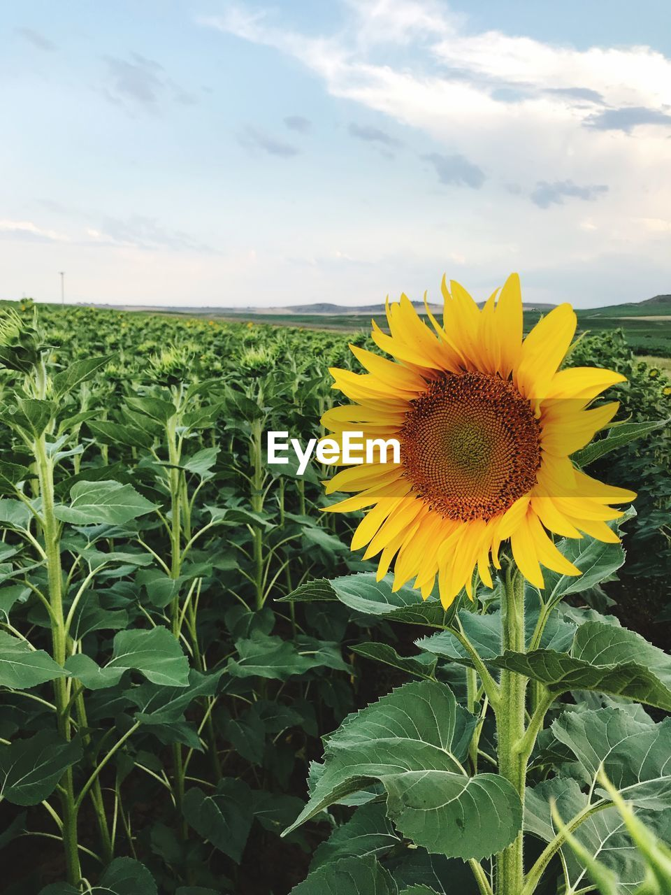 plant, growth, flower, beauty in nature, flowering plant, freshness, yellow, fragility, flower head, vulnerability, sky, sunflower, nature, leaf, plant part, field, inflorescence, petal, land, cloud - sky, pollen, no people, outdoors