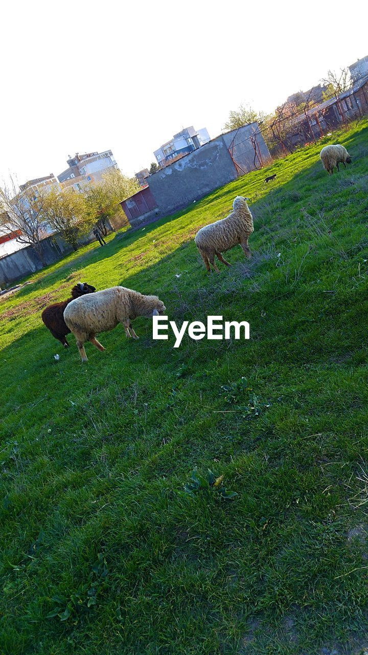 livestock, plant, grass, mammal, domestic animals, field, animal, animal themes, domestic, land, green color, pets, sheep, sky, agriculture, vertebrate, group of animals, landscape, nature, grazing, no people, outdoors, herbivorous