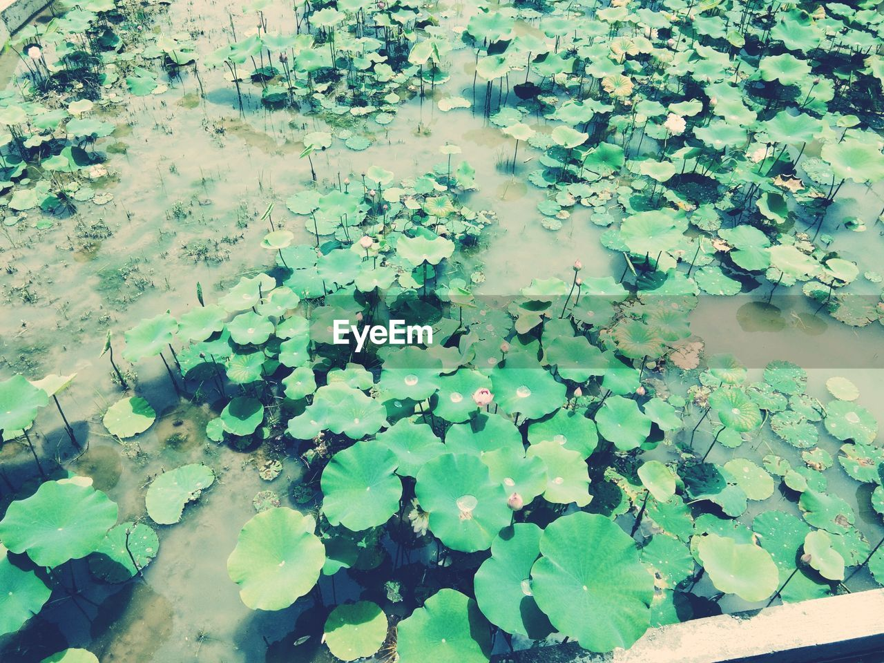 leaf, plant part, water, floating, beauty in nature, floating on water, plant, growth, nature, flower, high angle view, lake, water lily, day, green color, no people, freshness, flowering plant, outdoors, lotus water lily, leaves