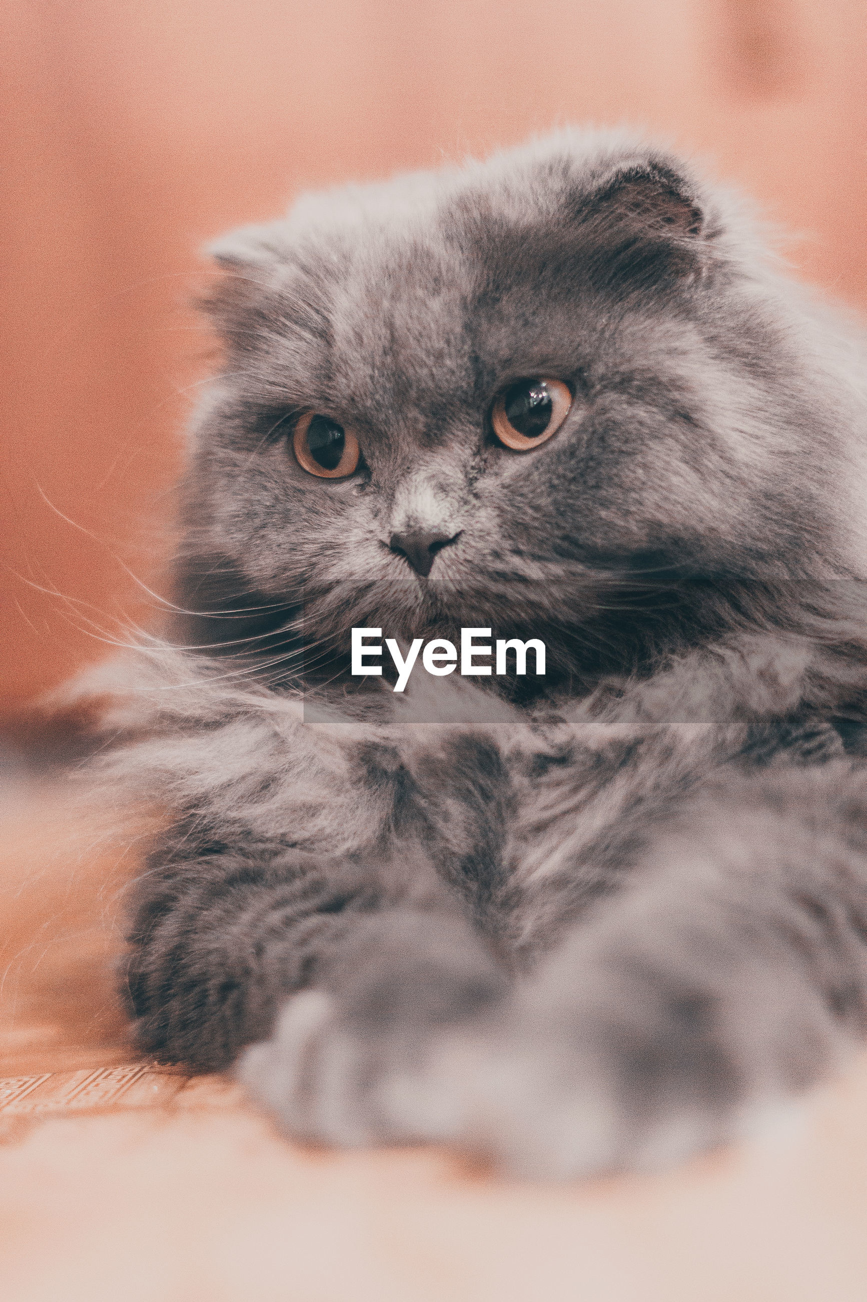 mammal, animal themes, domestic, animal, domestic cat, pets, domestic animals, one animal, cat, feline, vertebrate, indoors, selective focus, no people, close-up, looking at camera, portrait, relaxation, young animal, looking, whisker, animal head, persian cat, animal eye