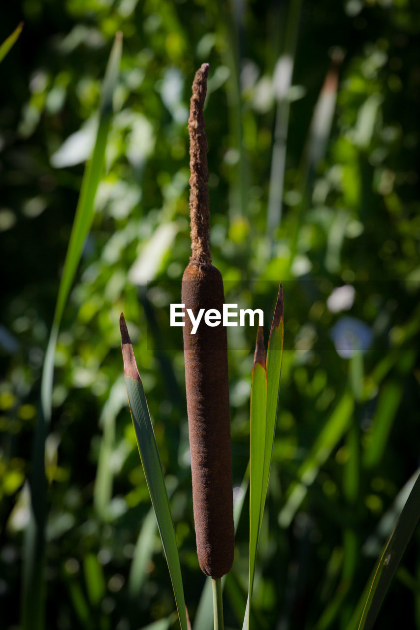 growth, plant, close-up, green color, beauty in nature, no people, focus on foreground, nature, day, tranquility, cattail, outdoors, brown, plant stem, plant part, sunlight, selective focus, leaf, field, beginnings