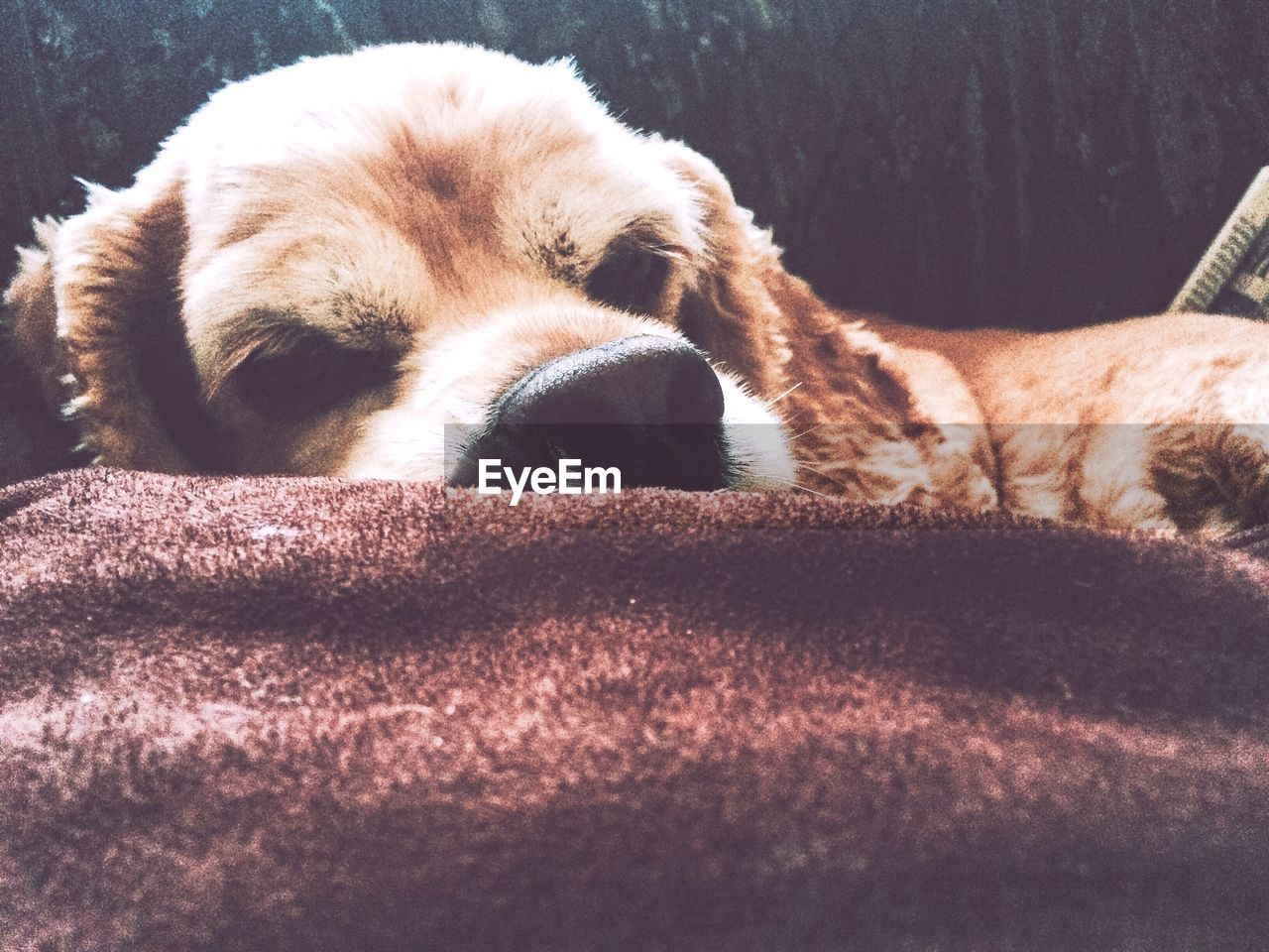 Close-Up Of Dog Relaxing On Bed