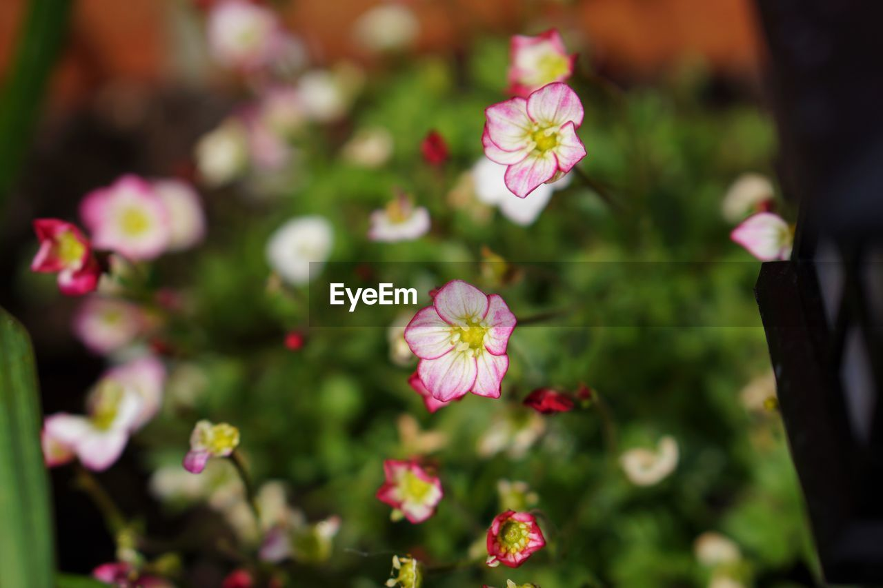 flower, pink color, growth, nature, petal, fragility, beauty in nature, day, flower head, focus on foreground, no people, outdoors, freshness, plant, blooming, periwinkle, close-up