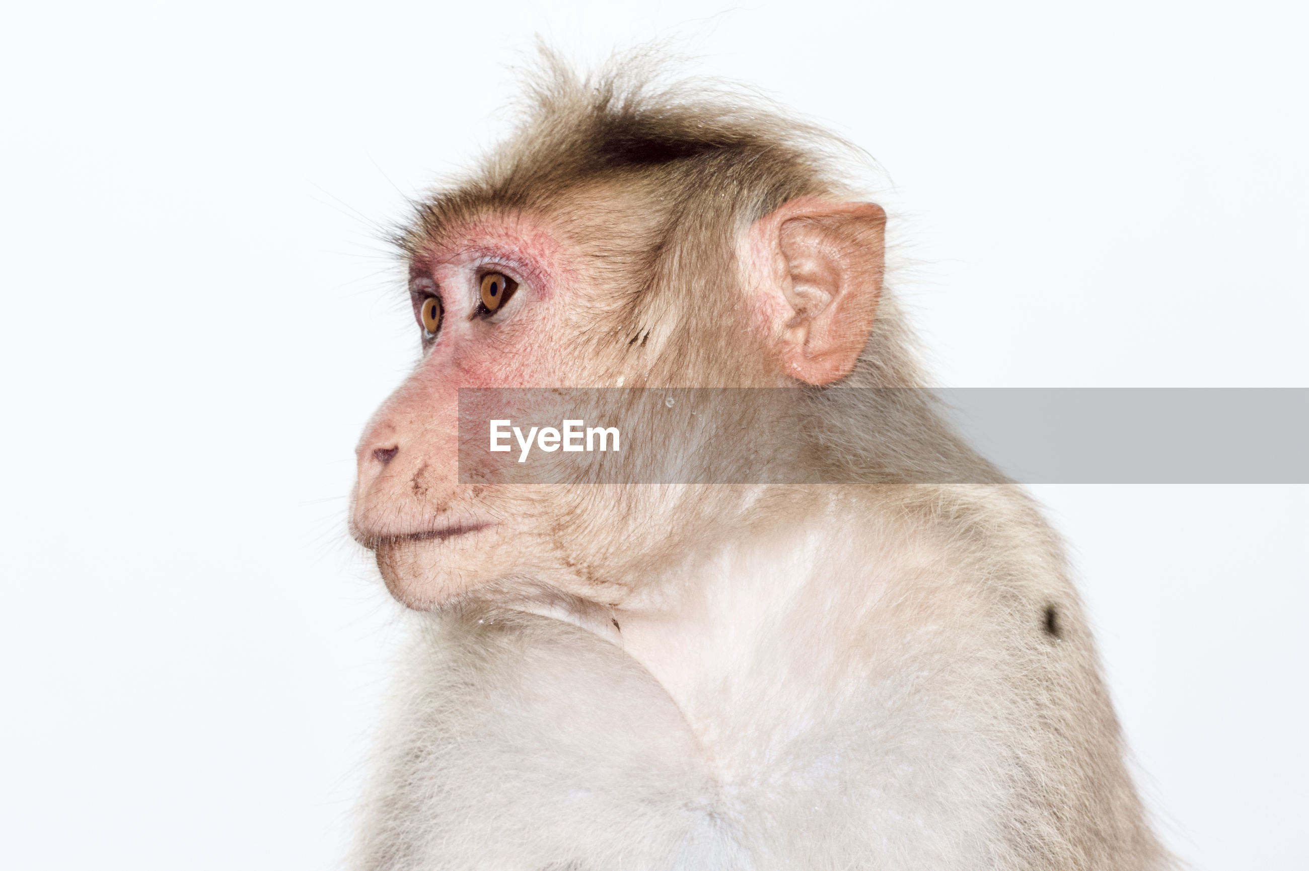 Close-up portrait of a monkey over white background
