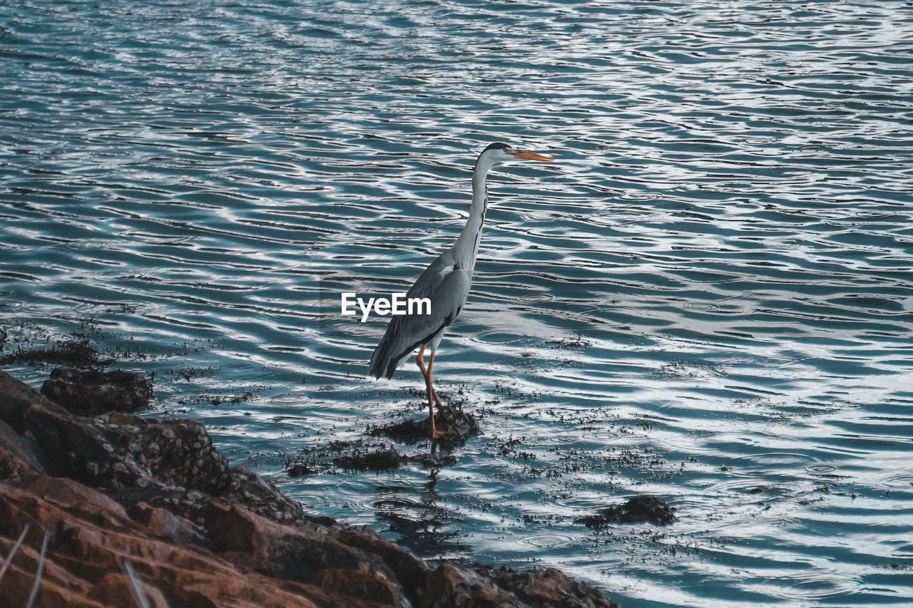 High angle view of grey heron perching at lakeshore
