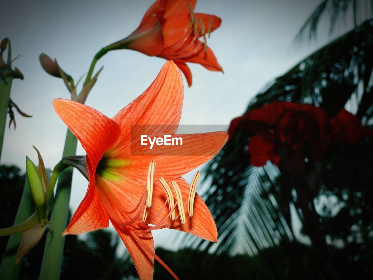 CLOSE-UP OF ORANGE DAY LILY BLOOMING AGAINST SKY