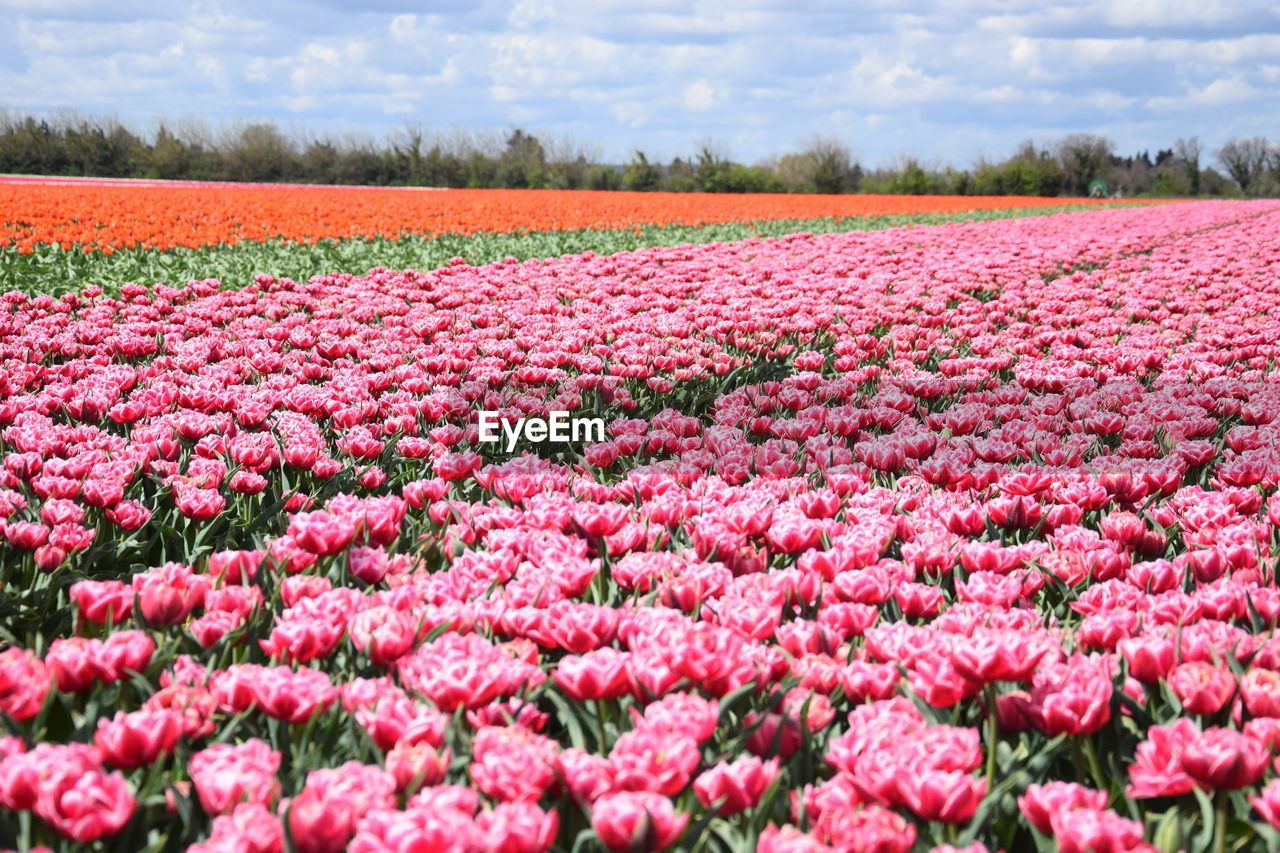 flower, beauty in nature, flowering plant, plant, growth, field, freshness, land, fragility, vulnerability, landscape, nature, no people, pink color, abundance, tranquility, environment, tranquil scene, rural scene, agriculture, flowerbed, springtime, outdoors, flower head