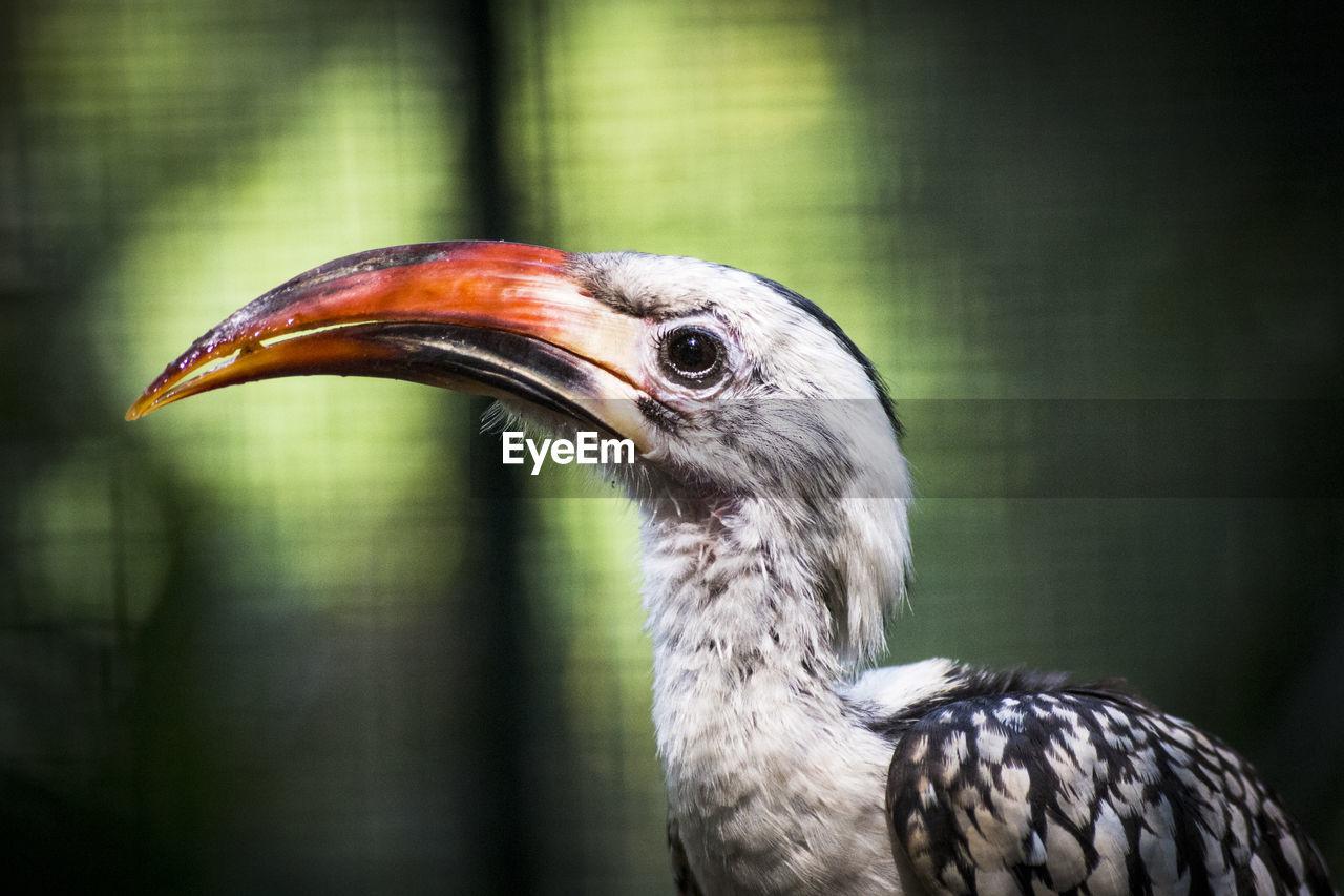 Close-up of a bird. hornbill.