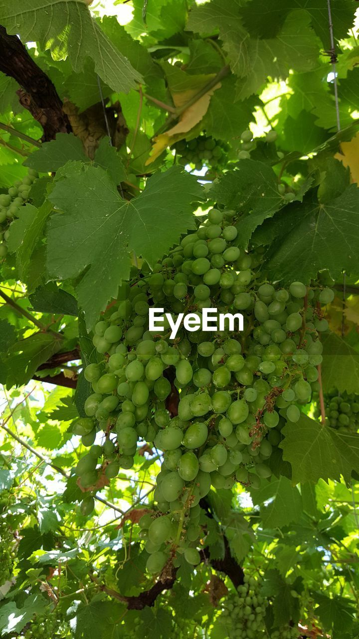 fruit, food and drink, growth, green color, bunch, tree, leaf, grape, food, healthy eating, hanging, unripe, agriculture, outdoors, freshness, no people, day, abundance, nature, low angle view, plant, beauty in nature