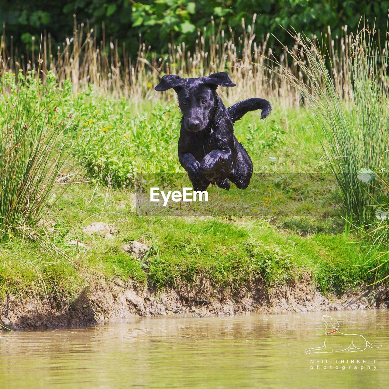 Black labrador jumping into lake