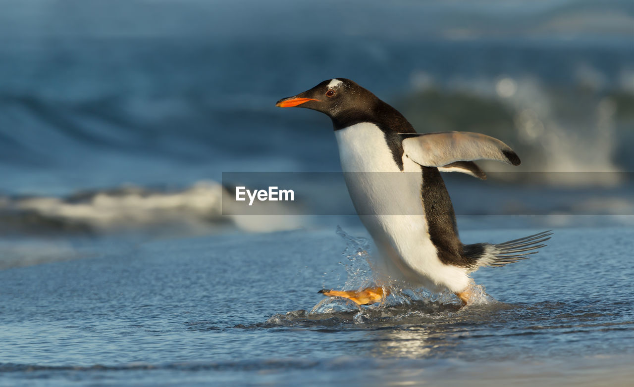 Penguin running at beach